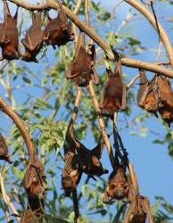 Bat/Flying Fox Safety for your family