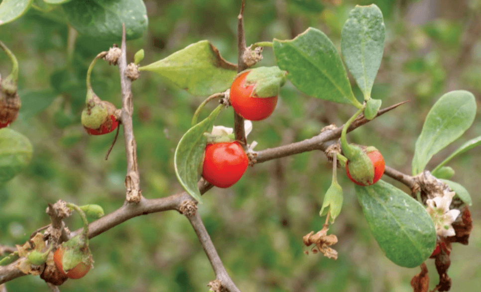 African Boxthorn Response Project – Monto Area