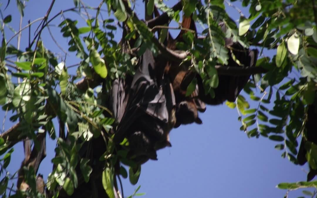 Got questions about flying foxes?  Here are some answers…
